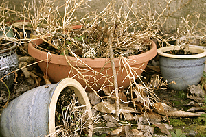 Dead_plant_in_pot-sized